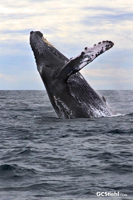 humpback-whales-stiehl-6866-800-wm